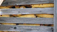 Syngenta's Genetically Modified Corn Crippling American Corn Exports