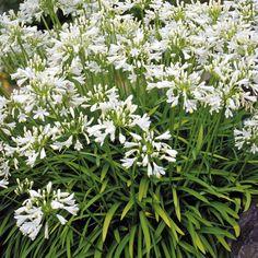 AGAPANTHUS 'Getty White'   (Agapanthe) : Connues surtout pour la décoration des bacs et jardinières, elles conviennent aussi à la décoration des massifs ensoleillés, en climat doux. Se plait en sol ordinaire, poreux, enrichi de préférence. Plante originaire d'Afrique du Sud, son feuillage vert est persistant. Fleurs blanc pur en boules denses.