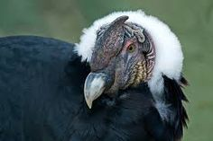 Stop the capture, torture, and killing of condors for Yawar ... - Care2 News Network