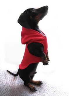 Dachshund in a red sweatshirt - cute!