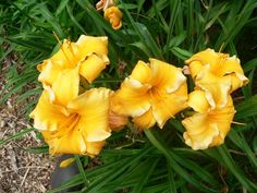 'Golden Curvature' from Richmond Daylilies
