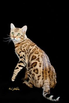 BENGALUVRS Bengals | Bengal Cats Bengals Illustrated Directory