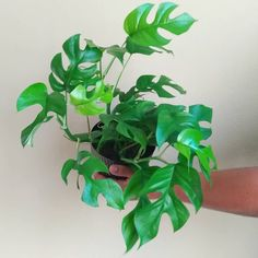 I couldn't resist buying this rhaphidophora tetrasperma - labeled as 'monstera minima' - at Home Depot for $12! Over a month ago, I bought… Houseplants, Home Depot, Indoor Plants, Plant Leaves, Gardens, Inspiration, Deco, Create, Stuff To Buy