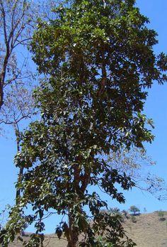 Pau de cinzas - Clethra scabra, em perigo de extição, árvore procurada pela abelha guaraipo para produzir mel branco. OBS: abelha guaraipo em perigo de extinção.