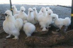 Silkie chickens. Mmm, eggs for breakfast!