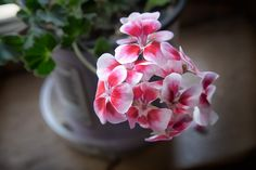 Pink and White Flower Print, Geranium plant photograph, Soft colorful floral home decor, Flower Photography, Cottage Chic Print by ChasedByBeauty on Etsy