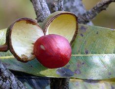 Frutos do Cerrado/Brazilian Savanah Fruits | Explore JC Patr… | Flickr - Photo Sharing!