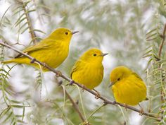 yellow warblers (photo by dan pancamo) Love birds! Pretty Birds, Love Birds, Beautiful Birds, Beautiful Things, Cardinal Birds, Kinds Of Birds, Three Birds, Colorful Birds, Yellow Birds