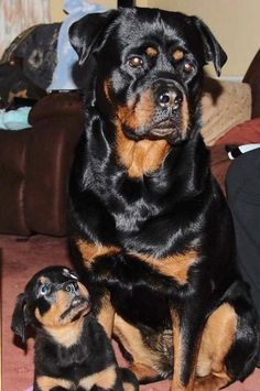 "Visit our web site for more details on ""rottweiler puppies"". It is an exceptional place to read more. Rottweiler Love, Rottweiler Puppies, Beagle, Cute Puppies, Cute Dogs, Dogs And Puppies, Doggies, Dogs 101, Pets"