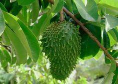 CULTIVOS ANTIGUOS: LA GRAVIOLA: SALUD NATURAL...Guanabana