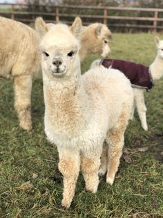 Nature Animals, Farm Animals, Animals And Pets, Cute Animals, Alpacas, Llama Pictures, Cute Animal Pictures, Cute Creatures, Beautiful Creatures