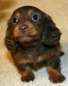 Dachshund Funny Everything About The Bold Dachshund Grooming Dachshund Breed, Dachshund Funny, Long Haired Dachshund, Mini Dachshund, Long Hair Daschund, Chocolate Dachshund, Cute Puppies, Dogs And Puppies, Cute Dogs