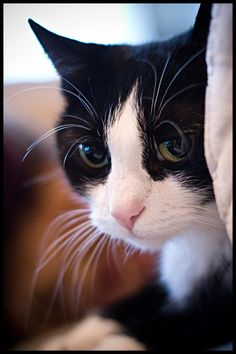 BEAUTIFUL tuxedo cat