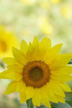 """The sunflower is a glorious, robust, dignified, I-am-what I-am sort of flower."" Henry Mitchell"