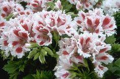 Pelargonium 'Fringed Aztec'