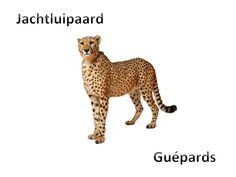 Jachtluipaard - Guépards