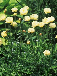 Flower of the Day: Globeflower --> http://hgtvgardens.com/garden-types/flower-of-the-day-globeflower?soc=pinterest