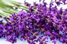 Picture of lavender flowers isolated on a white background purple summer flowers stock photo, images and stock photography. Lavender Blossoms, Lavender Blue, Lavender Flowers, Tropical Flowers, Summer Flowers, Purple Flowers, Lavander, Lilac, Tulips Flowers