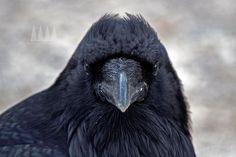 feather arrangement for the ravens head