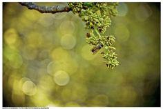 bee by Marcella Karmann, via Flickr