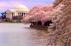 Hermione's Knapsack: Atom Bombs and Sakura Blossoms - posted 4/6/15