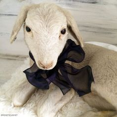 A real taxidermy French lamb, special rare breed, it's from 1920-30's,  A lovely piece with an adorable face, the lamb is in excellent condition for