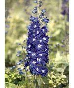 Benary's Pacific Giants King Arthur (Delphinium) - 1740G | Stokes Seeds