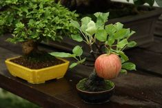 korrigu:  aprillikesthings:  kearunning:  coolthingoftheday:    Bonsai apple tree growing a full-sized apple.  A perfect balance of extremely impressive and completely ridiculous.  Apple trees are DETERMINED. My parents planted a twig of an apple tree and that first year it grew one apple. And the whole thing was bent over from the weight of it. It had one job and by God it was gonna do it.  she did such a good job Im so proud