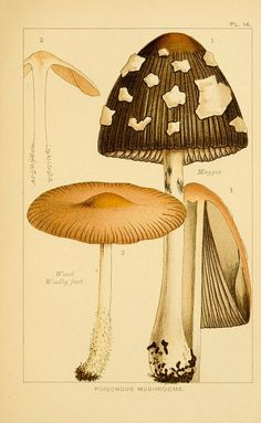 POISONOUS Mushrooms: 1) Magpie, 2)  Wood Woolly Foot