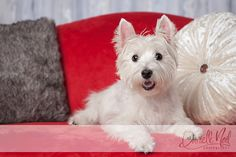 close-up photograph west highland white terrier laying on red settee valentine mini portrait session