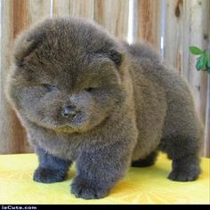 Grey Chow pup