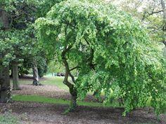 BlueBell Nursery - BlueBell Nursery - Trees & Shrubs - Corylus - Corylus avellana 'Pendula'