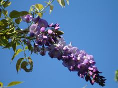 Wisteria in the morning