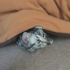 こたつから顔出してる #きいちゃん #かわいい #こたつ #あざとい #動物 #animal #猫 #ネコ #ねこ #cat #にゃんこ #男の子 #短足 #ねこ部 #ねこら部 #愛猫 #にゃんすたぐらむ #ニャンスタグラム #アメショー #アメリカンショートヘアー #