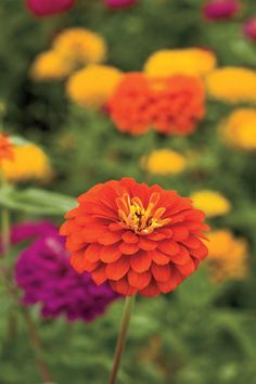 Zinnias are longtime garden favorites for colorful, round flowers. The flexible hot-weather plants don't gain from being planted early and stand still until weather warms up.