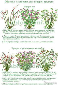 Информация взята с сайтов http://yablochkini.ru/vyrashhivaem-cvety/roza/obrezka-roz.html...