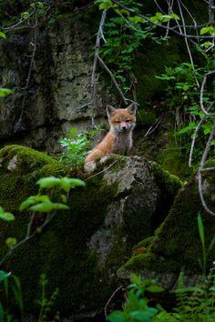 lsleofskye:  Little Fox