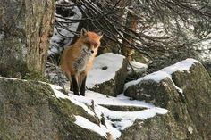 Fotka Nataše Viglaskej. Panther, Fox, Animals, Animales, Animaux, Panthers, Animal, Animais, Foxes