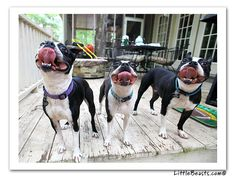 funny boston terrier pictures - Google Search