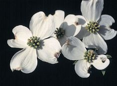 One of our favorite and popular spring time blooms: The Flowering Dogwood.