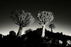 Quiver trees in black and white by Heinrich van den Berg on www.digitalgallery.co.za