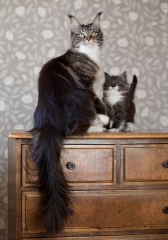 These cats are so majestic. The adult is beautiful and the baby is adorable. I have no more words.