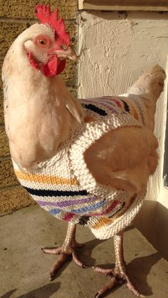 Knitting Pattern Hen Jumpers : 1000+ images about Chicken sweaters on Pinterest Chicken, Sweaters and A ch...