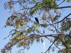 Grackle in an acacia tree. Maricopa, Arizona
