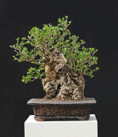 Walter Pall Bonsai Adventures: Olive #2