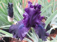 SUPERSTITION - BEARDED IRIS. The buds appear black but when SUPERSTITION blooms it is a rich dark purple. I really like the deep blue beards. We do have some pots to sell this year. Very popular every year.  #daylily