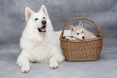 Schattig, Lief, Hond, Dieren, Puppy