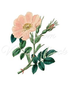 Pink Rose Vintage Rose, PNG Digital Image, Vintage Graphic Antique Illustration for Printing, Digital Artwork - INSTANT DOWNLOAD - 1171