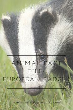 The European badger is one of the most recognisable animals found in Britain, and our fact file is full of information on the world's best digger! Animal Fact File, Animal Facts For Kids, Fun Facts About Animals, Animals For Kids, Farm Animals, Pathfinder Character, Animals Information, Extinct Animals, 24 Years Old