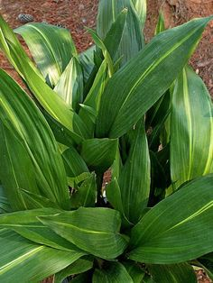 Plant Delights Nursery has the largest and best collection of solid green and variegated aspidistra for sale in the world, so when you are ready to buy cast iron plants, we will certainly have one for you. Deer Proof Plants, Rabbit Resistant Plants, Dry Shade Plants, Cast Iron Plant, Leafy Plants, Garden Plants, Cannabis Growing, Marijuana Plants, Rain Garden